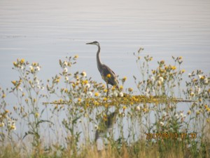Great Blue Heron, (Juvinile), St. George's