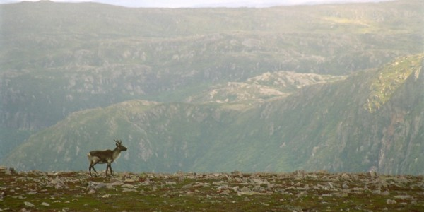 """A caribou stands dramatically on a ridge (Gros Morne National Park, Newfoundland, Canada)"""